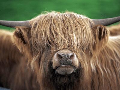 grannie geek scottish highland cattle pryor mountains